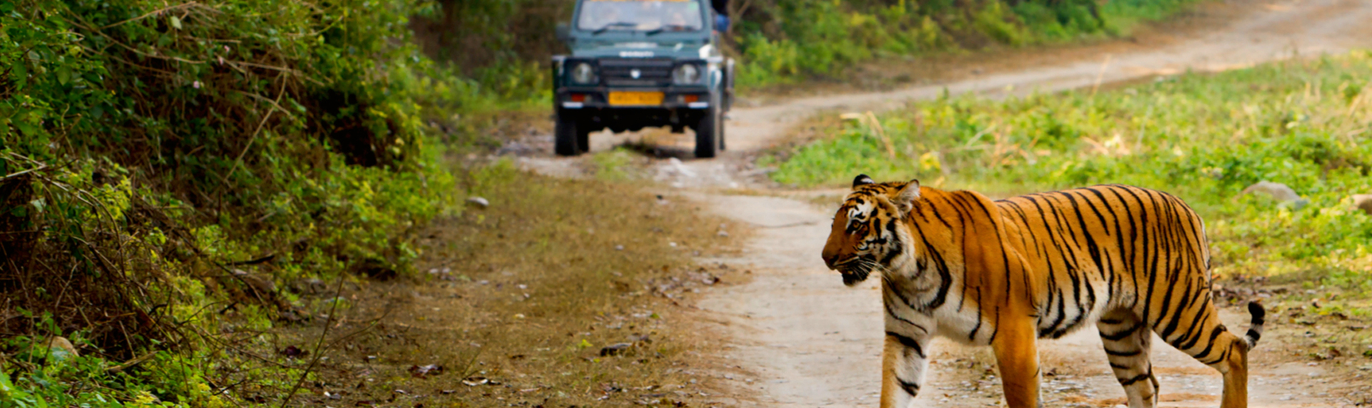 Tiger in Jim corbett national park Uttarakhand with people doing jeep safari and swatching the tiger